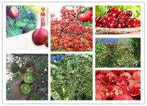 宁夏石嘴山苹果树苗基地有卖图片1