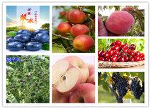 宁夏石嘴山苹果树苗基地有卖图片2