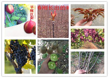宁夏石嘴山苹果树苗基地有卖图片3