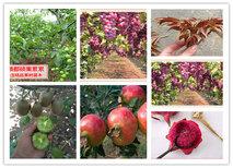 宁夏石嘴山苹果树苗基地有卖图片5