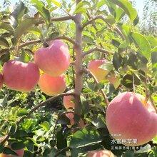 1年苹果树苗价格怎么样、湖南邵阳都是基地现挖图片