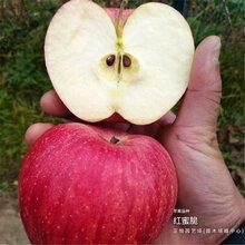 红富士苹果树苗什么价位、山东菏泽基地供应图片