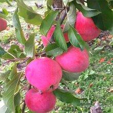 紅富士蘋果樹苗哪里賣的、廣東惠州合作苗木基地圖片