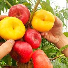 2公分桃树苗都是什么样的价位、江西永新免费送货图片