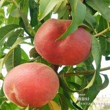 2公分桃树苗都是什么样的价位、青海玉树联系方式图片