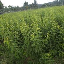 贵州西梅苗,贵州西梅苗新品种价格图片