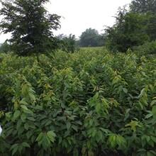 四川西梅苗出售,四川西梅苗品种介绍图片