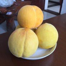 眉山桃子树苗优良品种,眉山桃子树苗销售图片