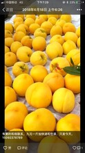 重慶巫山桃子苗多少錢,重慶巫山桃子苗銷售圖片
