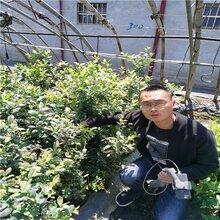 黑珍珠蓝莓苗品种齐全,莱克西蓝莓苗量大优惠图片