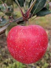 紅富士蘋果苗基地供苗、信濃紅蘋果苗價格優惠