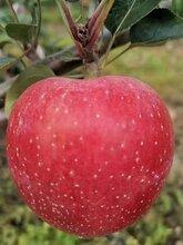 煙富3蘋果苗出售基地、魯麗蘋果苗新品種