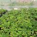 醴陵小白草莓苗新品种哪里有卖