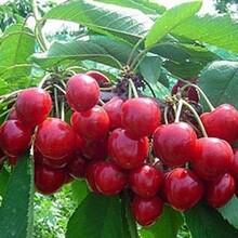 湖北大櫻桃銷售圖片