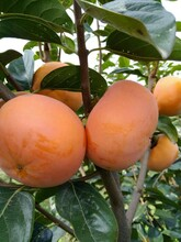 隨州太秋甜柿子苗價格圖片