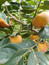 未央太秋甜柿子苗種植基地圖片