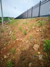 四平邊坡綠化紫穗槐苗圖片