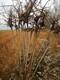 白山紫穗槐工程苗圖片圖