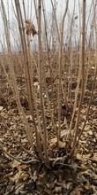 白城地區紫穗槐規格圖片