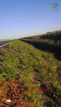 四平承包紫穗槐種植工程圖片