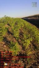 吉林市公路紫穗槐種植公司圖片