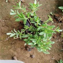廠家批發植物大花馬齒莧小苗半枝蓮小苗太陽花園林植物