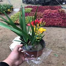 批發優良香雪蘭種球價格盆栽觀花植物當年開花