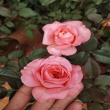 卡羅拉月季基地用綠化工程常植物三季開花