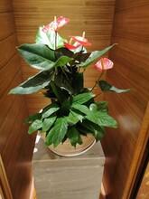 西麗酒店植物批發市場圖片