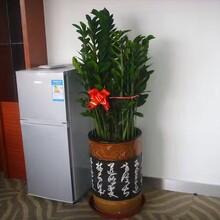 福田辦公室綠植租賃圖片