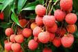 黑葉荔枝水果生鮮微商貨源客齊聚水果生鮮微商代理一件代發招募中