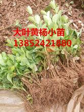 低价抛售50公分大叶黄杨价格批发-大叶黄杨小苗价格查询-量大图片