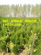 低价批发50公分塔松价格-1米塔松价格-3米高塔松价格图片