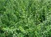 苗圃直銷小葉女貞價格報價-50公分小葉女貞價格0.2元一棵