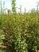 黃刺玫價格表40公分黃刺玫價格50公分黃刺玫價格60公分黃刺玫價格