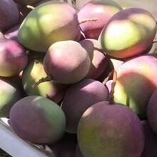 四川攀枝花凱特芒果新鮮上市個大皮薄肉質嫩滑客齊聚水果生鮮圖片
