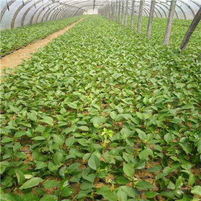 拉宾斯樱桃苗、南方种植拉宾斯樱桃苗