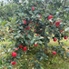花牛蘋果苗一畝種植數量