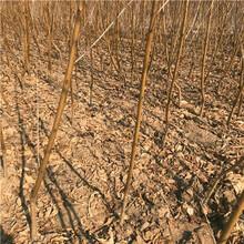 发展种植中华寿桃树苗图片