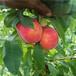 基地培育映雪红桃树苗