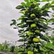 早紅考蜜斯梨樹苗、早紅考蜜斯梨樹苗參觀成品果園