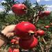 2年新世纪番石榴苗胭脂红番石榴苗零售价格