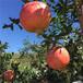 1公分大青皮石榴苗蒙阳红石榴苗提供种植技术