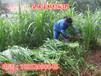 柳州养羊种植什么牧草种子全国货到付款