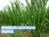 滨州市博兴县养羊种植什么牧草种子哪里卖