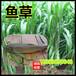 白城养猪种植什么牧草种子多少钱一斤