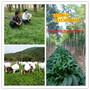 惠安县养羊种植什么牧草种子哪里有卖的图片