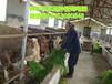兴隆县哪里卖冬季养羊牧草种子多少钱一斤