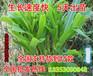 山东栖霞哪里卖多年生黑麦草种子多少钱一斤