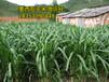 青岛市即墨市冬季养羊种植什么牧草黑麦草种子多少钱一斤